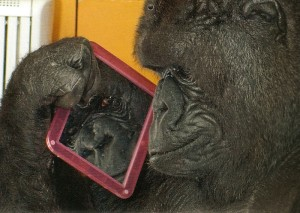 Koko looking at her self in a mirror.